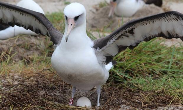 Zogu më i vjetër në botë që çel vezë, Albatrosi nuk e përmban dot veten