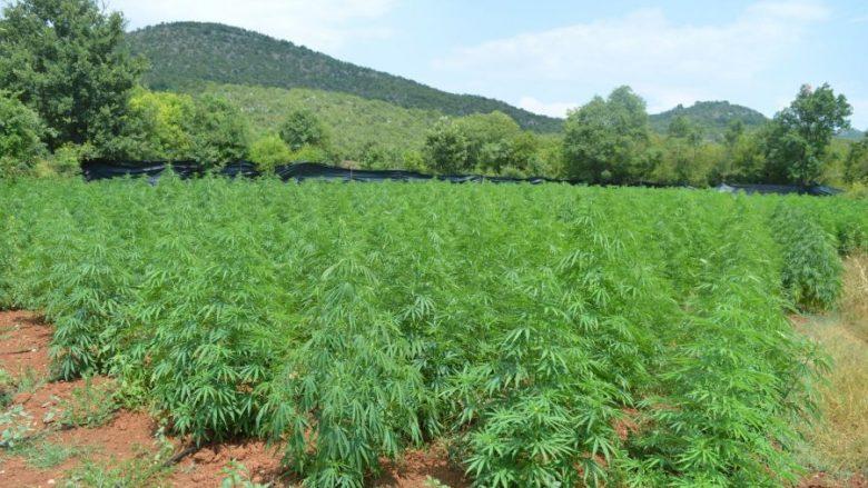 Zbulohet plantacioni më i madh i marihuanës në Mal të Zi