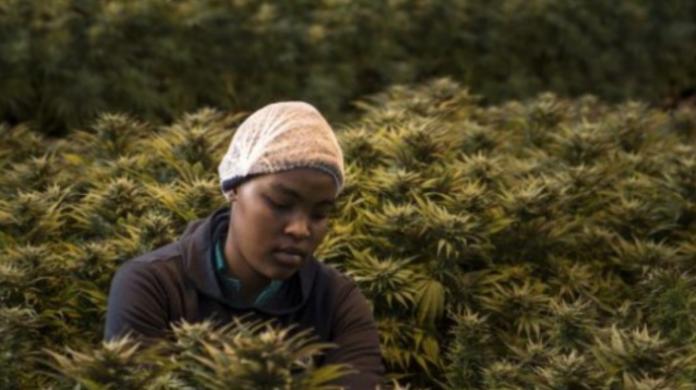 BE hap dritën jeshile për eksportimin e kanabisit afrikan në Europë