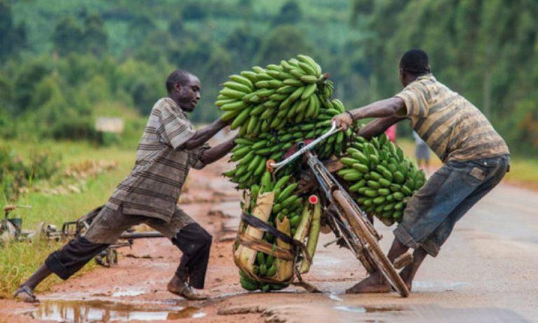Uganda nis prodhimin e tepihëve dhe shtesave të flokëve nga mbetjet e bananeve